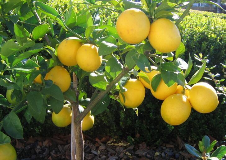 Limon Ağacı Bakımı