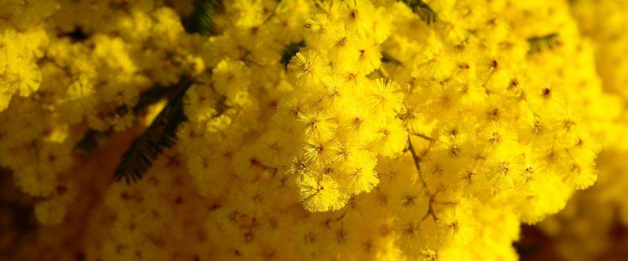 Mimoza Ağacı Bakımı