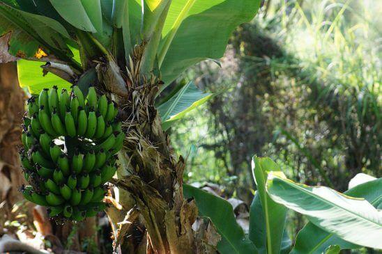 Muz Ağacı Kaç Yaşında Meyve Verir Cicekalnet