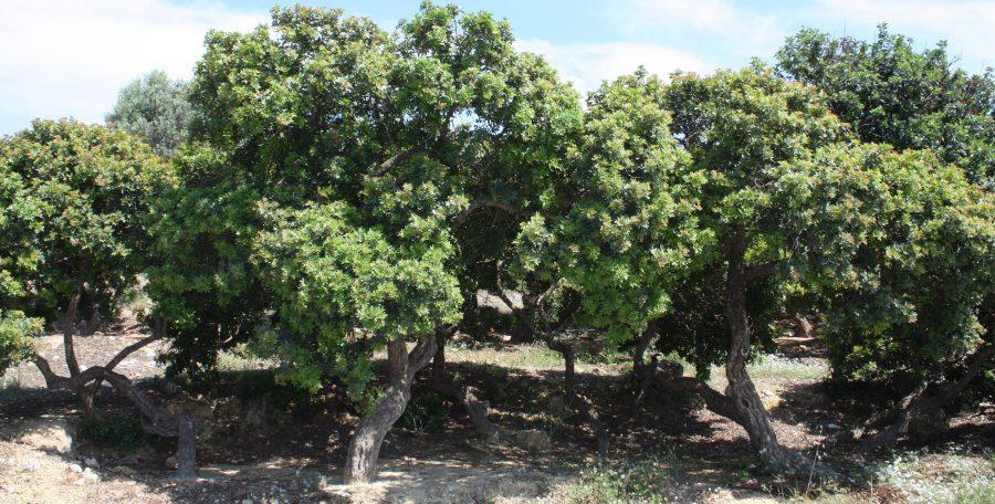 Sakız Ağacı Bakımı