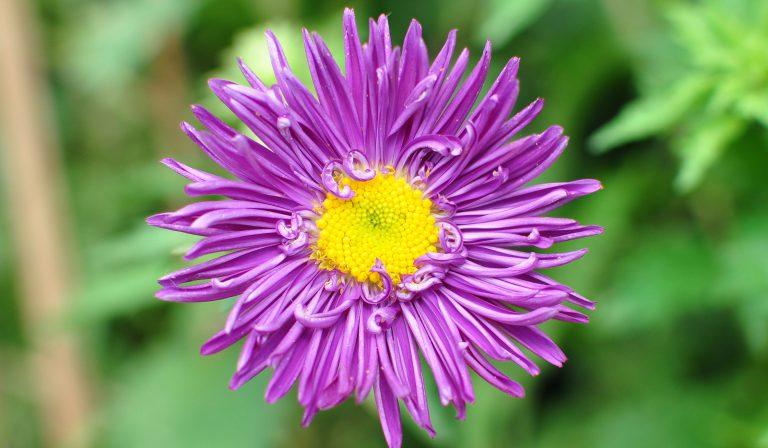 Saraypatı Çiçeği Bakımı