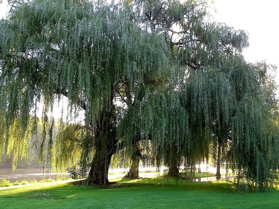 Söğüt Ağacı Bakımı