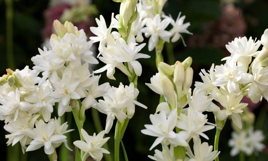 Sümbülteber Çiçeği Nasıl Yetiştirilir