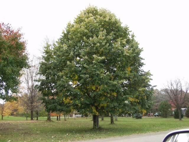 Ihlamur Ağacı Bakımı