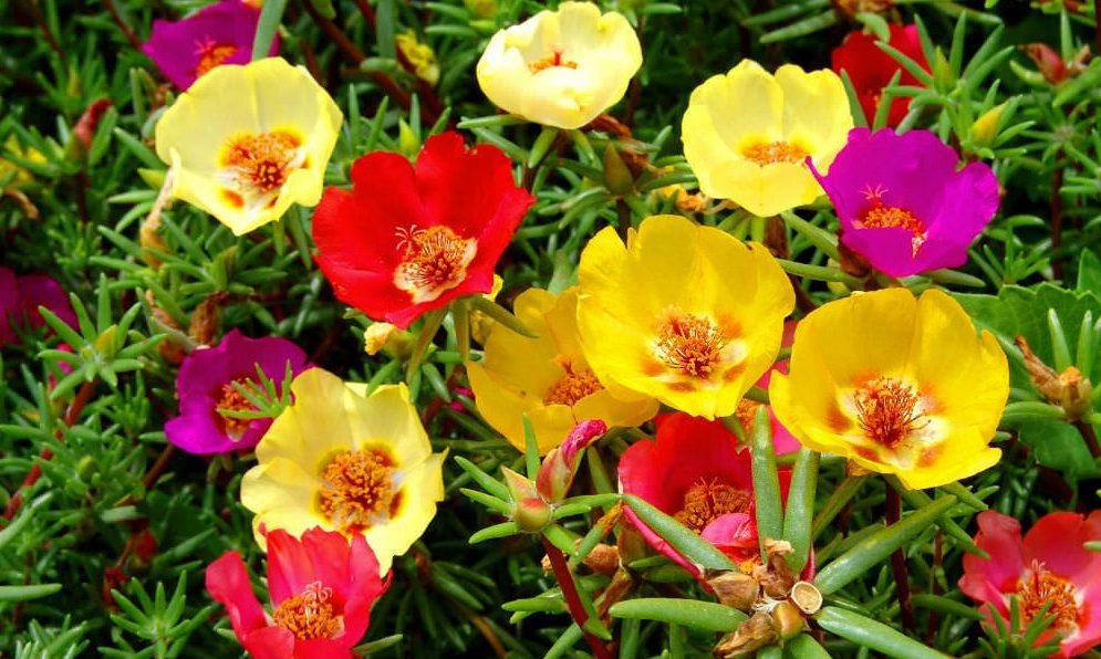İpek Çiçeği Bakımı