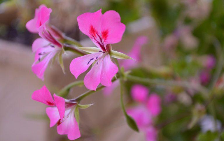 Itır Çiçeği Bakımı