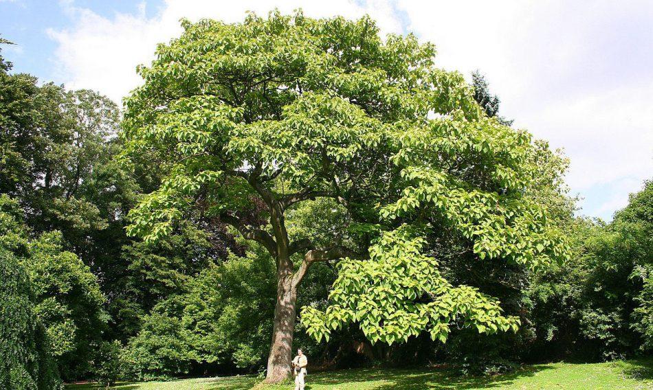 Ardıç Ağacı Bakımı