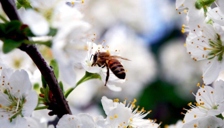 Arıların En Çok Sevdiği Çiçekler