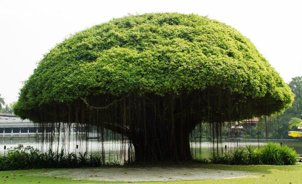 Banyan Ağacı Yetiştiriciliği