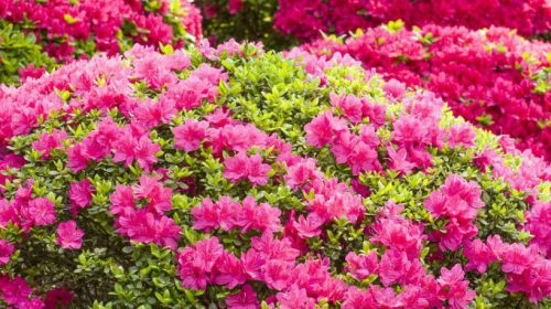 Açelya Çiçeği Anlamı