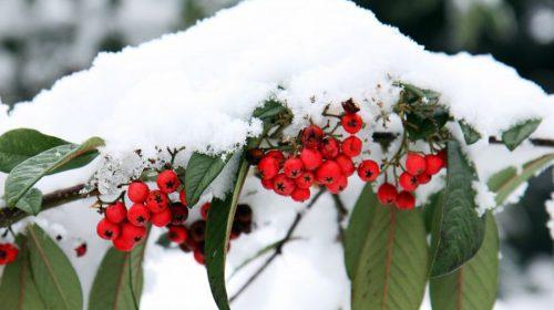 Soğuğa Dayanıklı Çiçekler