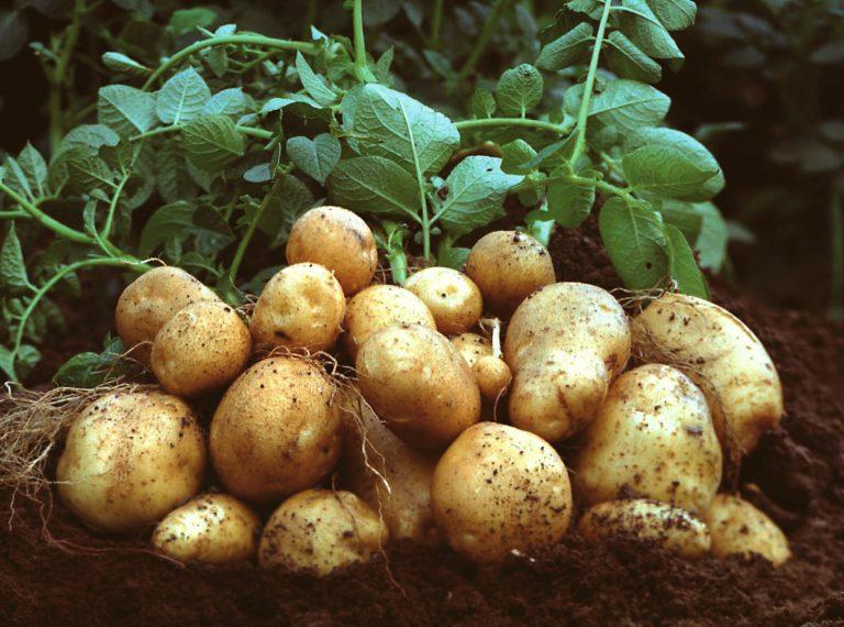 Patates Yetiştiriciliği