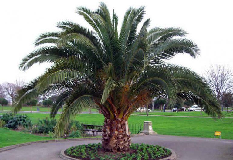 Fenix Palmiye Yetiştiriciliği