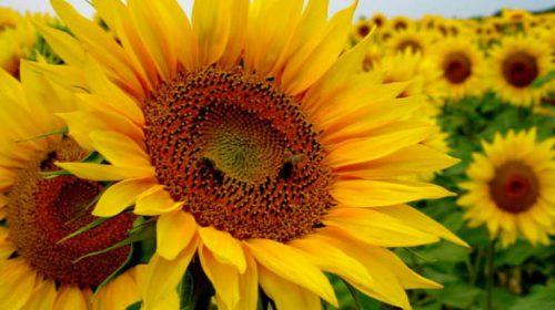 Ayçiçeği Çiçeği Anlamı