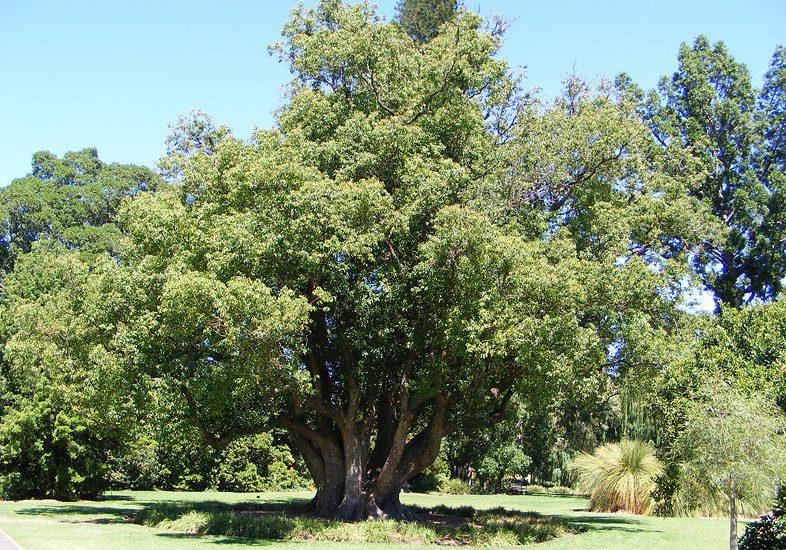 Kafur Ağacı Yetiştiriciliği