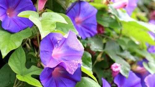Kahkaha Çiçeği Bakımı