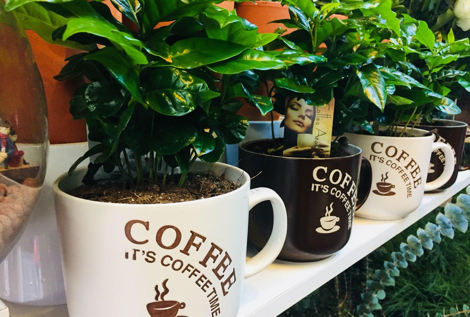 Kahve Çiçeği Bakımı