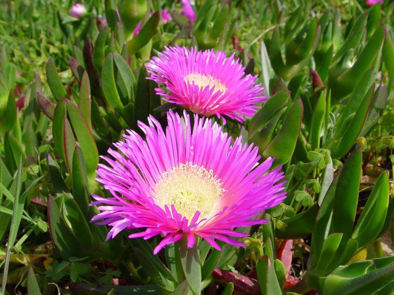 Kazayağı Çiçeği Bakımı