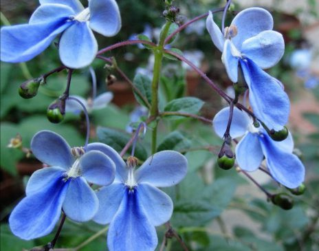 Kelebek Çiçeği – Fakir Orkidesi Bakımı