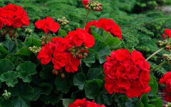 Sardunya Çiçeği Anlamı