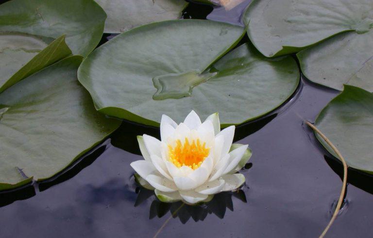 Lotus Çiçeği Bakımı