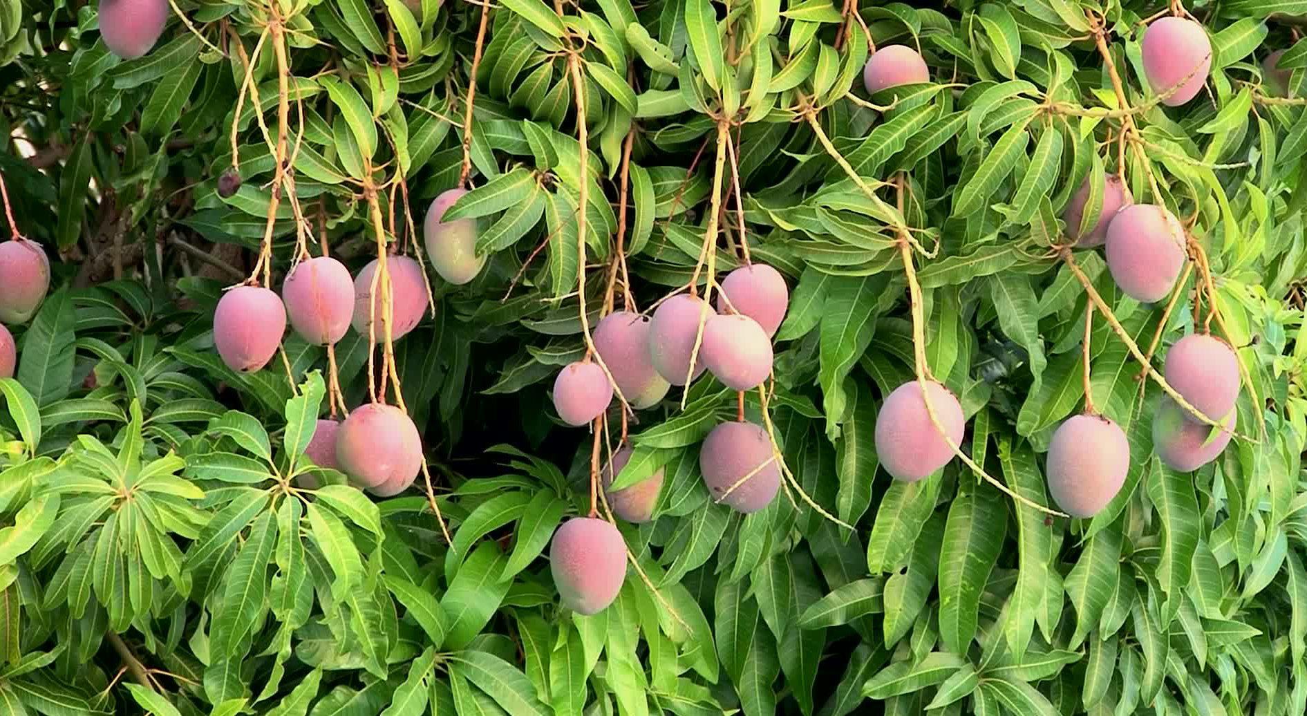 Mango Ağacı Yetiştiriciliği