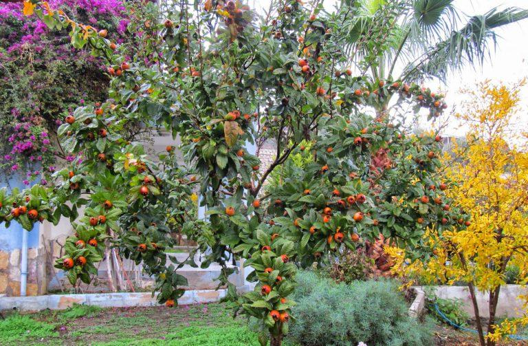 Muşmula Ağacı Yetiştiriciliği