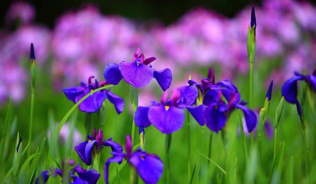 Nevruz Çiçeği Anlamı