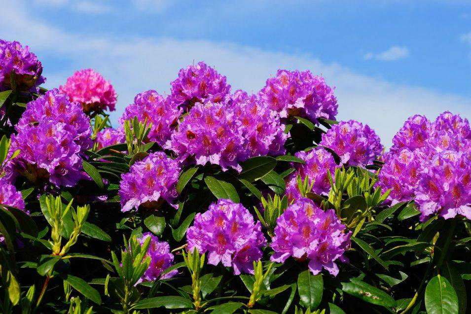 Orman Gülü Çiçeği Bakımı