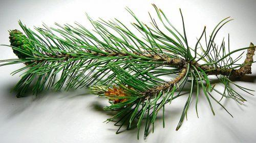 Sarıçam Ağacı Yetiştiriciliği