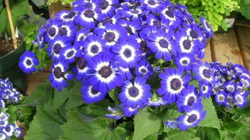 Sinerelya Çiçeği Bakımı