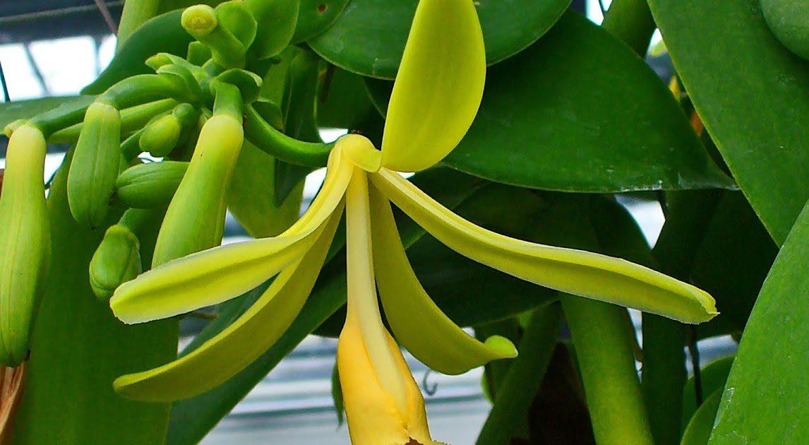 Vanilya Bitkisi Nasıl Yetişir