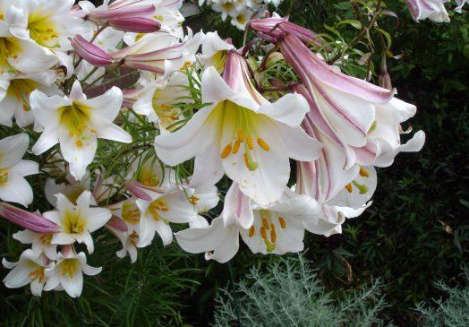 çiçek zambak ile ilgili görsel sonucu