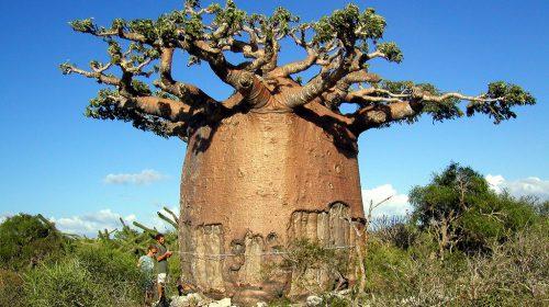 Baobab Ağacı Yetiştiriciliği