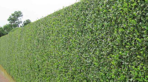 Rüzgar Kesen Çit Bitkileri